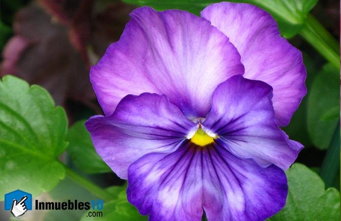 violetas-min